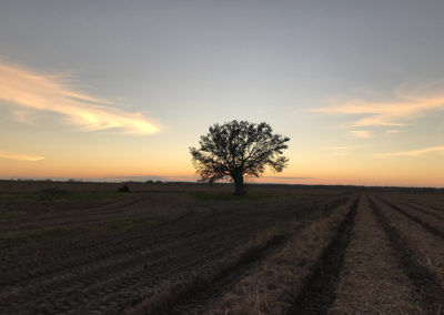 63 Solitary Oak