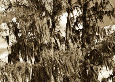 106 Cypress moss